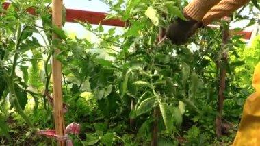 Senior gardener woman care tomatoes plants in greenhouse — Stock Video
