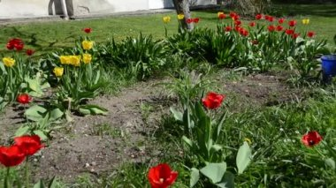 Panorama of tulip flower beds in spring and gardener woman work — Stock Video