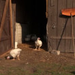 Young white chicken in farm village stall outdoor — Stock Video #54989117
