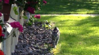 Small kitten cat walk near house window sill with  flowers — Vídeo de Stock