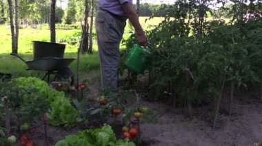 Farmer man with watering can water ripe tomato plants in farm — Stock Video
