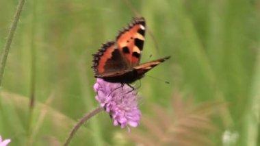 Butterfy Small Tortoiseshell on pink flower in summer garden — Stock Video