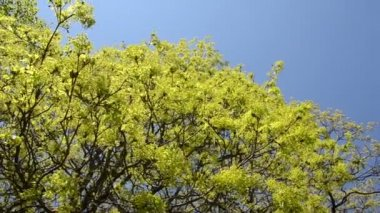 Spin view of green maple tree branch move in wind over blue sky — Vídeo de Stock