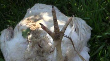 Döda broiler kyckling på gräs. Dödade djur på gården för mat — Stockvideo