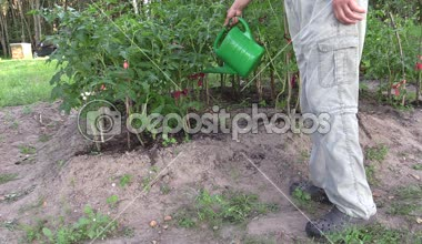 Gardener man with watering can water tomato plants in farm — Stock Video