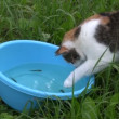 Hungry poor cat catch fishes from blue plastic bowl with water — Stock Video #56159359