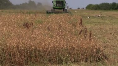 Zoom out of farm combine work in corn field with standing stork — Stock Video