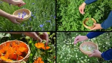 Hands gather cornflower mint marigold herb plants. Clips collage — Stockvideo
