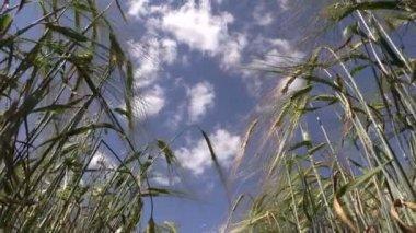 Ripe barley barleycorn plant crops ears move in wind — Stock Video