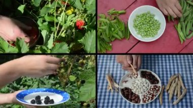 Harvesting berries and legume peas and beans in garden. Collage — Stock Video