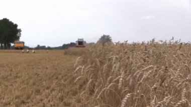 Grain sway wind, background harvester, vehicle, stork. Farming — Stock Video