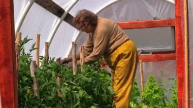 Senior woman in yellow trousers prune tomato plants in hothouse — Stock Video