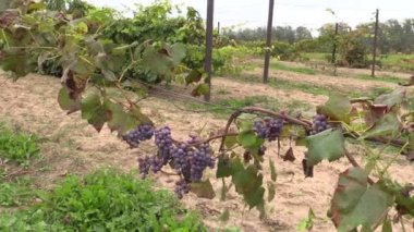 Grape plantation branch entwine on stake — Stock Video