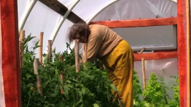 Senior woman in hothouse at bushes of tomatoes — Stock Video