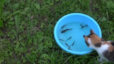 Curious cat catch fish from blue plastic bowl with water — Stock Video