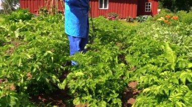 Peasant farmer man in workwear fertilize potato plants in garden — Stock Video