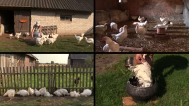Farmer woman feed broiler and pluck feather. Video clip collage. — Stock Video