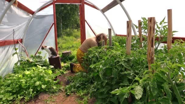 La abuela destruir rama de tomate en invernadero, la gata sobre el muñón — Vídeo de stock