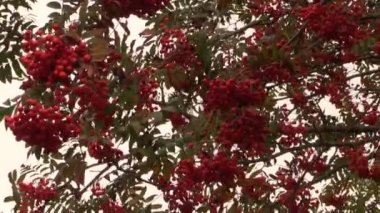 Rowan sorb berries tree branches move in wind. — Stock Video