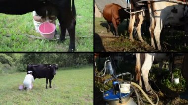 Manual and automatic cow milking in farm. Video clips collage — Stock Video