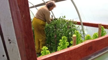 Old farmer woman care tomato plant in green house — Stock Video