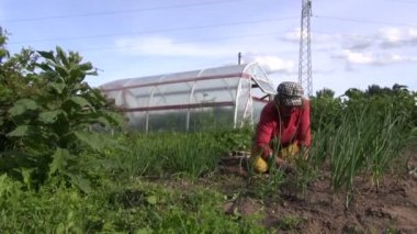 Old farmer woman weed onion plants in garden near hothouse — Vídeo stock