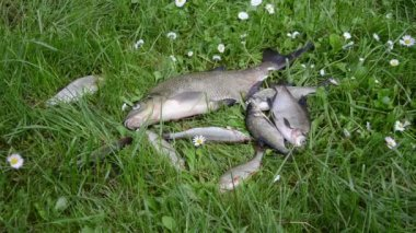 Alive bream and roach fishes lie struggling on meadow grass — Stock Video
