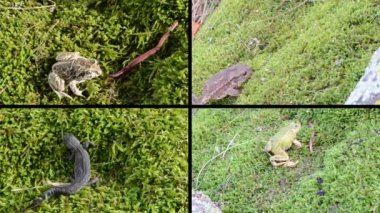 Amphibia toad, frogs and triton on moss. Video clips collage. — Stock Video