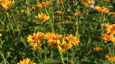Yellow daisy flowers bush with lot of blooms grow in garden — Stockvideo