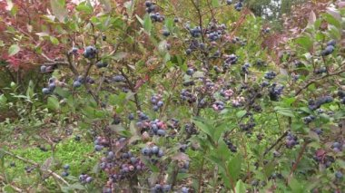 Ecologically grown blueberries in garden — Stockvideo