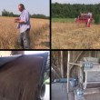 Farmer check harvest and sift wheat plants. Video clips collage — Stock Video #70192683
