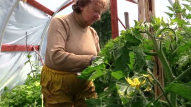 Old grandmother senior woman care tomatoes plants in hothouse — Stock Video