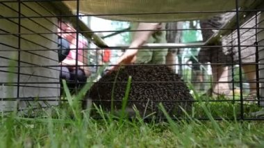 Hedgehog animal closeup in captivity cage and people touch — Stock Video