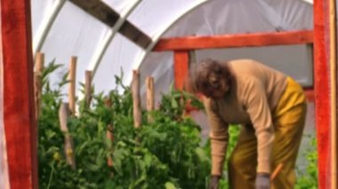 Grandmother in greenhouse examines flowers of tomatoes — Stock Video