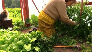 Grandmother woman weed tomatoes plants in greenhouse. Cat — Vídeo de Stock