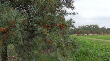 Buckthorn tree branch with yellow berries closeup. — Stock Video