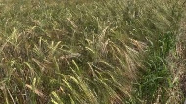 Ripe barley barleycorn plant crop ears move in wind — Stock Video