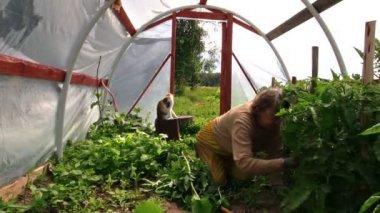 Old gardener woman work between tomato plants in hothouse. Cat — Stock Video