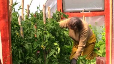 Old senior woman on her knees care tomato plants in greenhouse — Stock Video