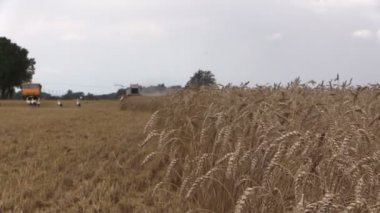 Ears move in wind and combine on cloudy day. Focus change — Stock Video