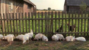 Broiler kyckling och svart höna letar mat i gården gård — Stockvideo