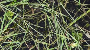 Young tadpoles agile between the green grass hump — Wideo stockowe