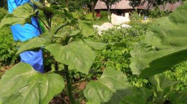 Peasant farmer man fertilize potato plants with fertilizer tool — Stock Video