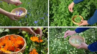 Hands gather cornflower mint marigold herb plants. Video collage — Stock video