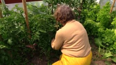 Senior farmer gardener care tomatoes plants in greenhouse — Stock Video