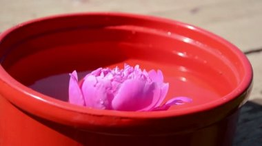 Pink peony flower immersed in a red clay bowl — Stock Video