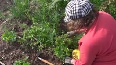 Farmer woman weeding strawberry plants in garden. Seasonal works — Stock Video