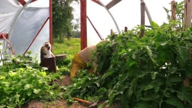 Senior woman with cat pet weed tomato plants in greenhouse — Stock Video