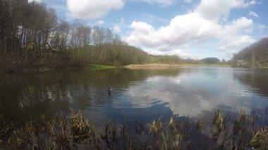 Mallard duck birds swim on lake pond shore. Timelapse. 4K — Stock Video