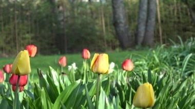 Canlı Lale çiçek, ağaç ve bower Bahar park, Bahçe. 4k — Stok video